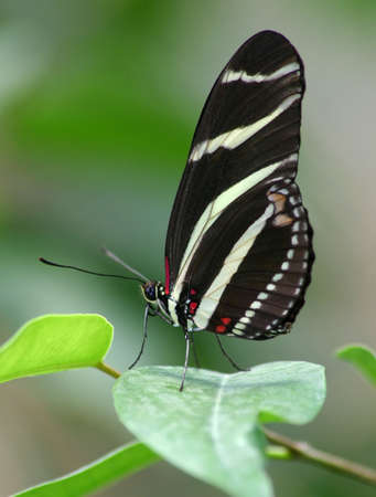 Zebra butterfly on the plant.