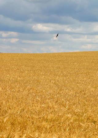 wheat field in summer Stock Photo