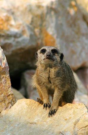 suricata keep the area of