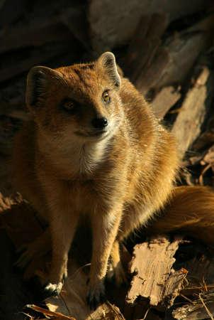 The mongoose vigilant watch. Stock Photo - 5301499