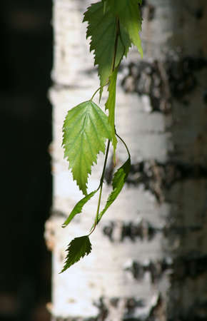 Birch tree and his leaf.