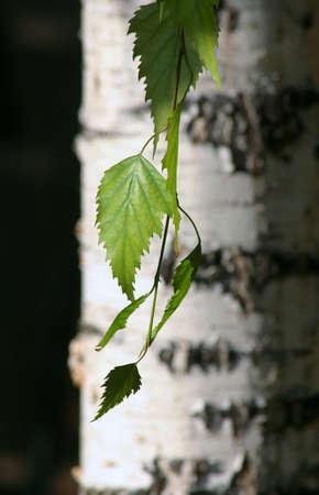white birch tree: Birch tree and his leaf.
