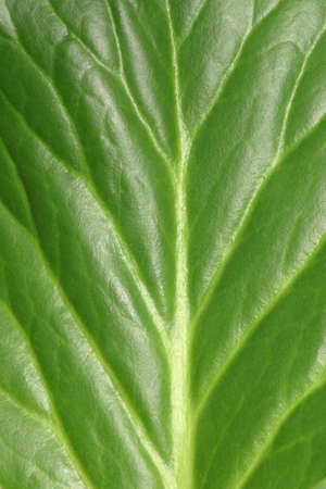grained wood of the leaf. Stock Photo