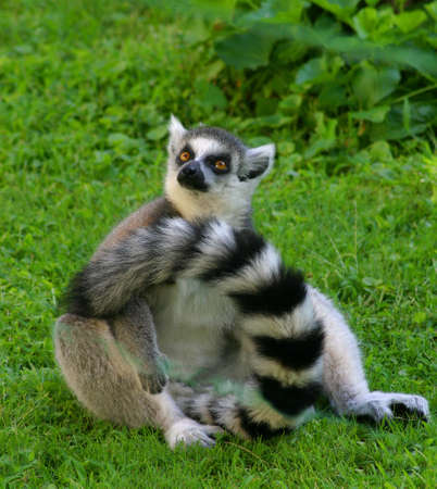 The lemur is sitting in the grass.