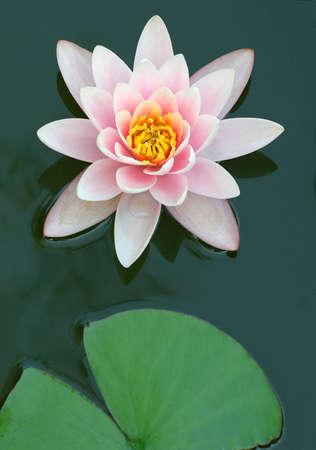lilia: cerca del agua lirio de.