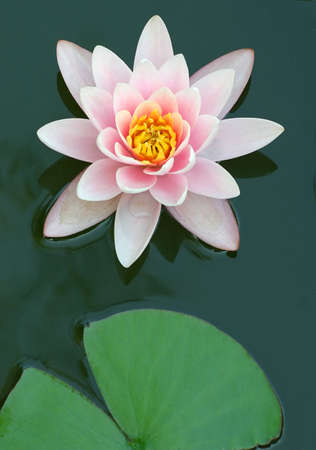close to the water-lily from.
