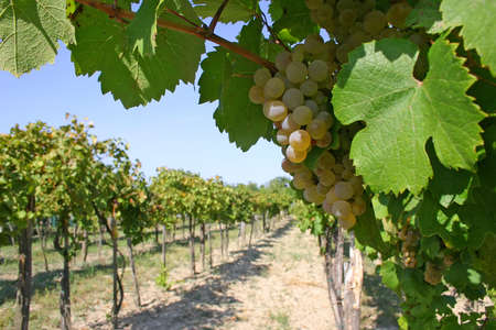 Viticulture before harvesting.
