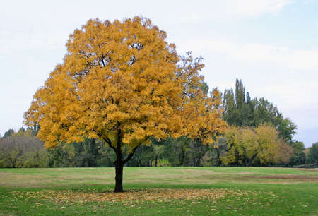 yellowing: Yellowing leaves of a tree in autumn. Stock Photo
