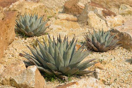 yucca: three desert cactus (Yucca schottii) Stock Photo