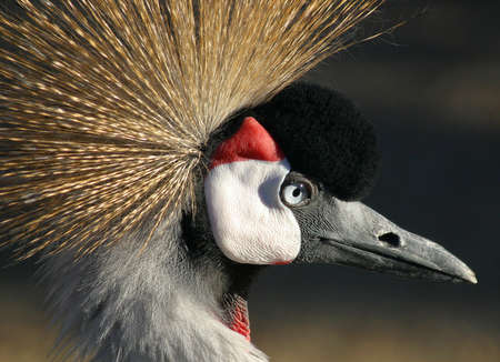 crowned crane near diadem from the image Stock Photo - 6167206