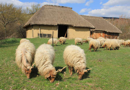 The sheep graze in front of the Stables. Stock Photo - 6823643