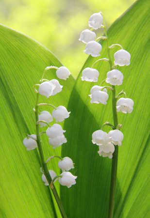 A pair of lily of the valley. Stock Photo - 6979914