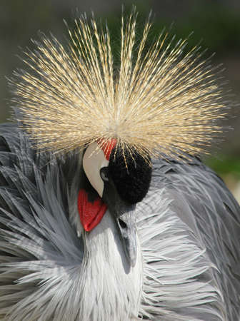 crowned crane near diadem from the image