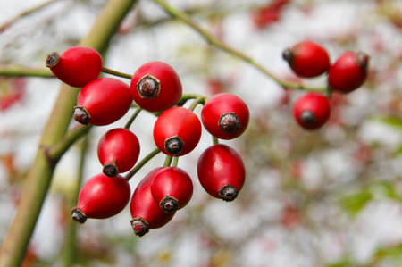 Rose hips from the bushes.