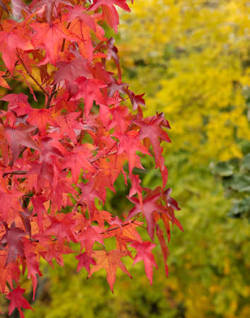Red leaves in autumn foliage. Stock Photo