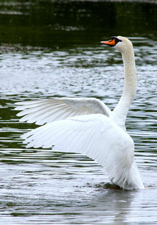 water wings: Try the wings of a swan on water.