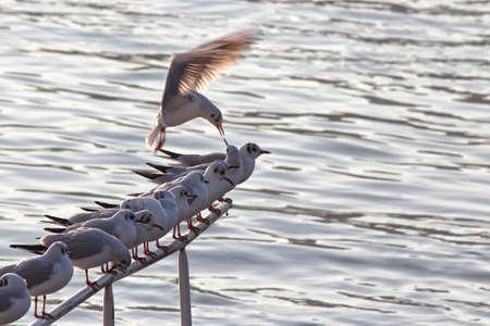 descends: Riverside gulls resting and one descends.