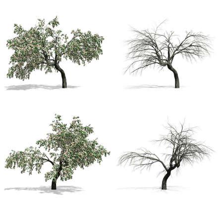 Cerisiers, isolés sur fond blanc.