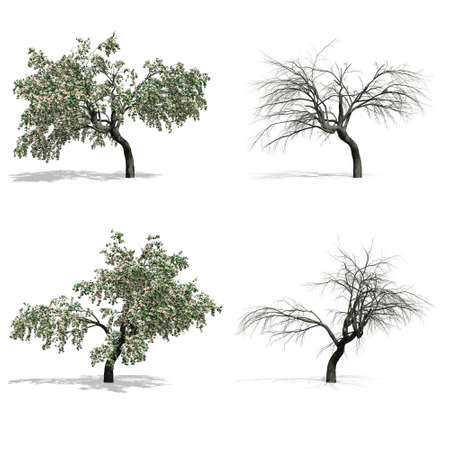 Cherry trees, isolated on white background.