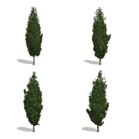cypress trees, isolated on white background.