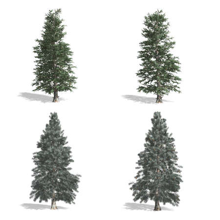 Spruce trees, isolated on white background.