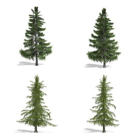 Cedar  trees, isolated on white background. Stock Photo