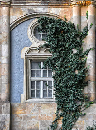 Old wooden window overgrown with ivy in fall Stock Photo