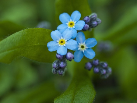 Forget me not, small flowers in the shape of a heart  photo