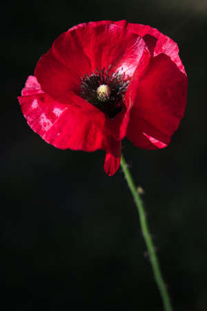 Elegant  Red Poppy Flower in the wind on a green spring garden. Gentle movements in the breeze. Common Poppy. (Papaver Rhoeas).