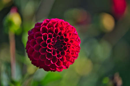 Close up of a Bright Carmine (Dark Red) Dahlia Pom Pom or Ball Dahlia on a garden. Gentle movements under the summer breeze during the Golden Hour.