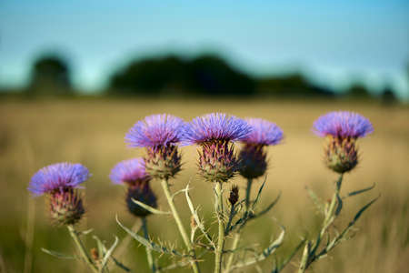 Beautiful purple Thistle in bloom at the Pampas Plain, Buenos Aires Province, Argentina. Summer afternoon.