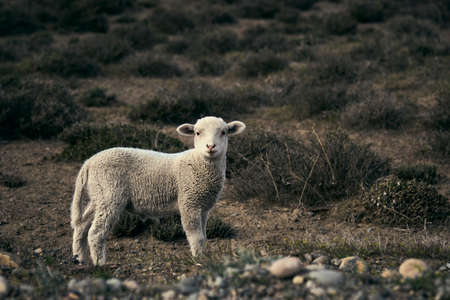 Cute little lamb on the Patagonian plateau during spring sunrise. Banco de Imagens