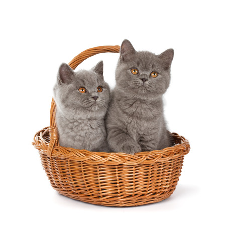 bri: Purebred British Shorthair Blue Kitten in the basket isolated on white. Two young BRI Cats with copper eyes.