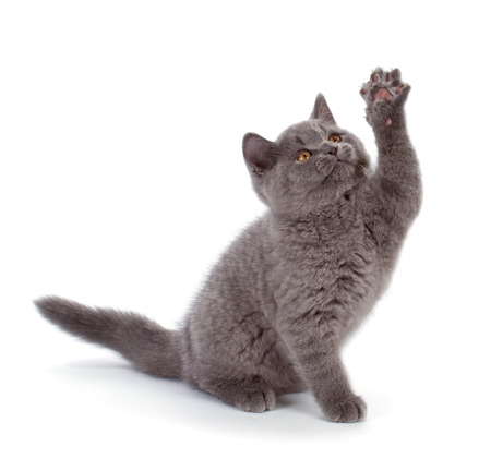 bri: Purebred British Shorthair Blue Kitten isolated on white. Playful Young BRI Cat with copper eyes. High five.