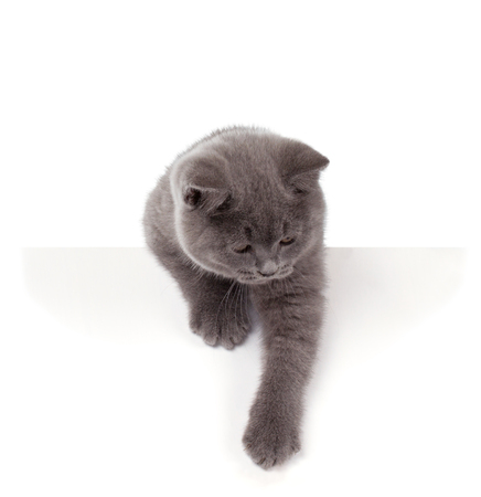 bri: Purebred British Shorthair Blue Kitten isolated on white. Playful Young BRI Cat with copper eyes. Peep out.