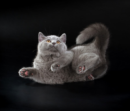 cheshire cat: Purebred British Shorthair Blue Kitten on black background. Playful Young BRI Cat with copper eyes. Stock Photo