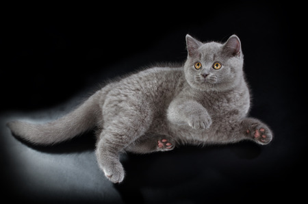 Purebred British Shorthair Blue Kitten On Black Background Playful Young BRI Cat With Copper Eyes