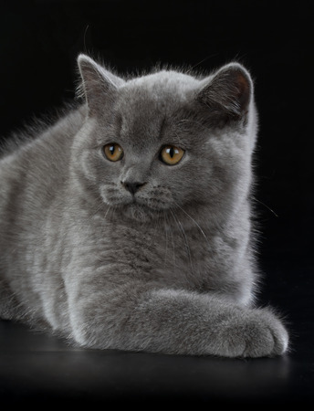 bri: Purebred British Shorthair Blue Kitten on black background. Playful Young BRI Cat with copper eyes. Stock Photo