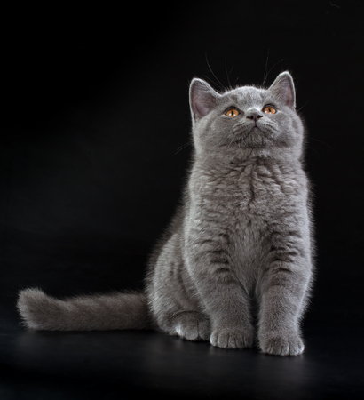 cheshire cat: Purebred British Shorthair Blue Kitten on black background. Playful Young BRI Cat with copper eyes. Looking up Stock Photo