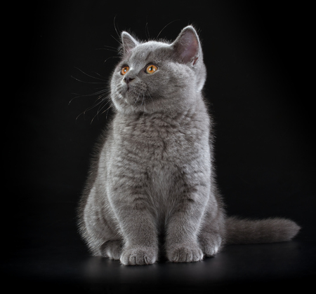 eyes looking up: Purebred British Shorthair Blue Kitten on black background. Playful Young BRI Cat with copper eyes. Looking up Stock Photo