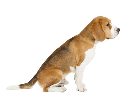 apologetic: Beagle puppy isolated on white background. Side view, sitting, looking away