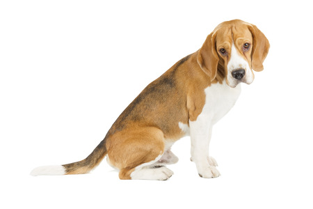 Beagle puppy isolated on white background. Side view, sitting, looking at camera Stock Photo