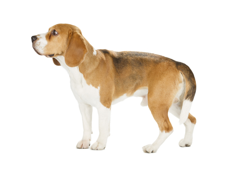 Beagle puppy isolated on white background. Side view, staying, looking away Stock Photo