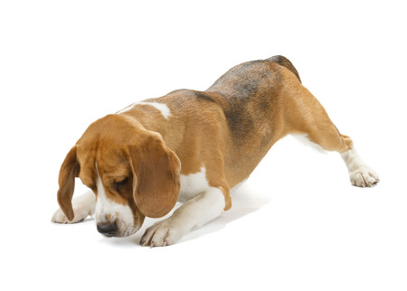 Beagle puppy isolated on white background. Side and rear view, staying, looking away