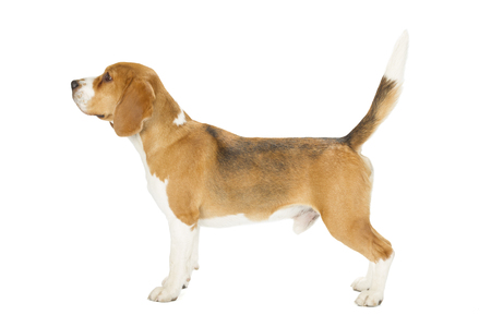 staying: Beagle puppy isolated on white background. Side view, staying, looking away Stock Photo
