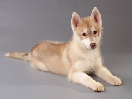 Siberian husky puppy lying on grey background. Side and front view, looking at camera