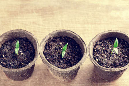 Small sprouts of pepper plant in a paper pots on a wooden board , top view