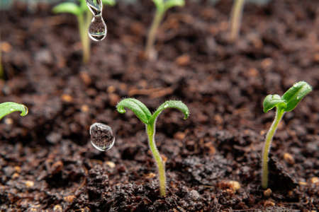 Watering young seedlings of tomatoes in in container. Plant care concept Reklamní fotografie