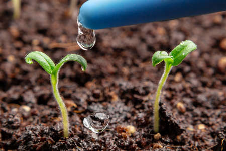 Watering young seedlings of tomatoes in in container. Plant care concept Banco de Imagens