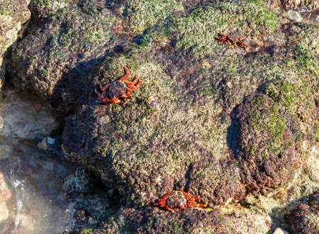 Red-footed crabs walk on stones on the coast of the Gulf of Oman Stockfoto